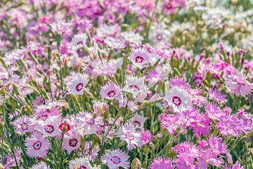 Blühende Grasnelken in Mischfarben aus nächster Nähe von Ruud Morijn