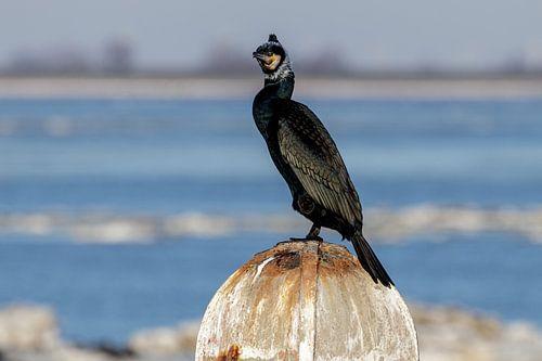 Le cormoran, Phalacrocorax carbo