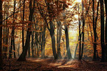 Zonneharpen tussen de bomen in de bossen op de Veluwe van Fotografiecor .nl