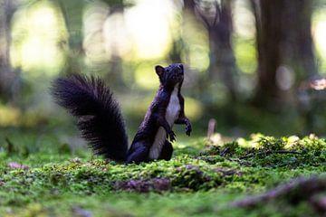 Eichhörnchen im Märchenwald, Eekhoorn in het sprookjesbos von Karin Luttmer
