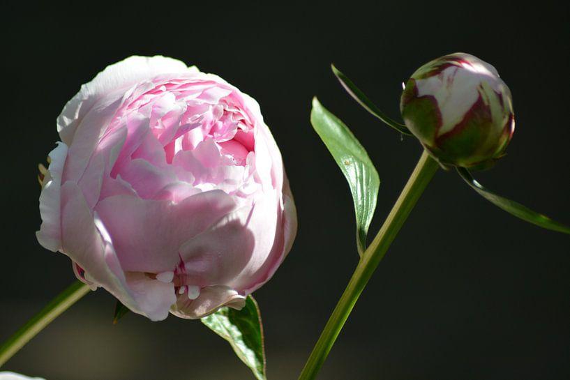 Roze Pioenroos van FotoGraaG Hanneke