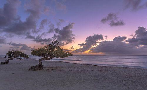 Divi Divi Aruba van Rene Ladenius