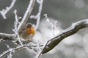 Roodborstje op winterse dag van