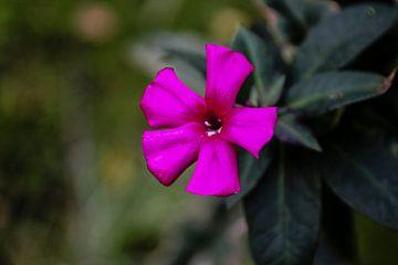 paarse bloem von peter lissens