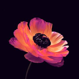 Roze Ranunculus-1 van Pia Schneider
