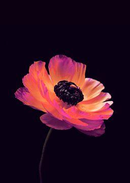 Pink Ranunculus-1 von Pia Schneider
