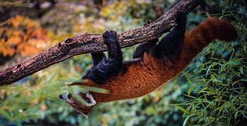 Roter Panda von Dieter Emmerechts