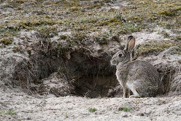 Wild konijn ( Oryctolagus cuniculus ), wild konijn dat voor een konijnenhol in de duinen zit, wild,  van wunderbare Erde