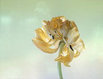 Tulpe gelb von natascha verbij