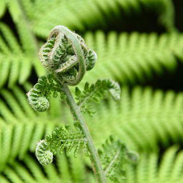 Varens (plant) van Koos Mast
