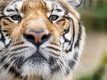 'Neugierig Tiger