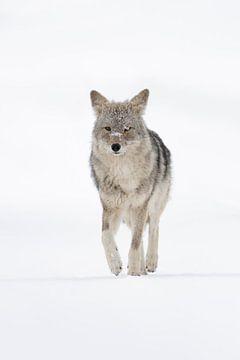 Kojote ( Canis latrans ) läuft im Winter durch den Schnee direkt auf den Fotografen zu, frontale Auf von wunderbare Erde