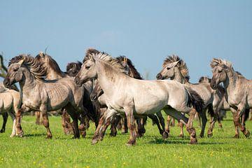 Herde von Konik-Pferden beim Laufen an einem Sommertag von Elles Rijsdijk