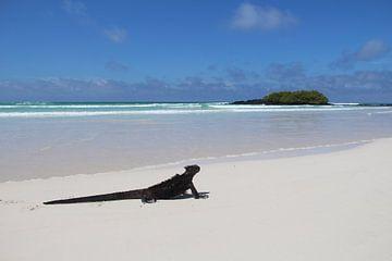 Leguan am Strand der Galapagos-Inseln von SaschaSuitcase