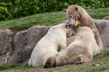 Jonge ijsberen drinken melk bij hun moeder van Joost Adriaanse