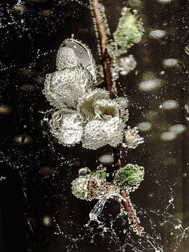 Im Wasserglas- Quittenblüte von Christine Nöhmeier