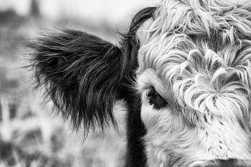Schottisches Hochlandrind ganz nah von Danny Tchi Photography