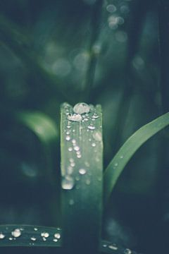 Regendruppels op een grassprietje van lichtfuchs.fotografie