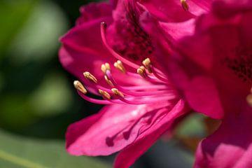 Rhododendron close-up von Hans Tijssen