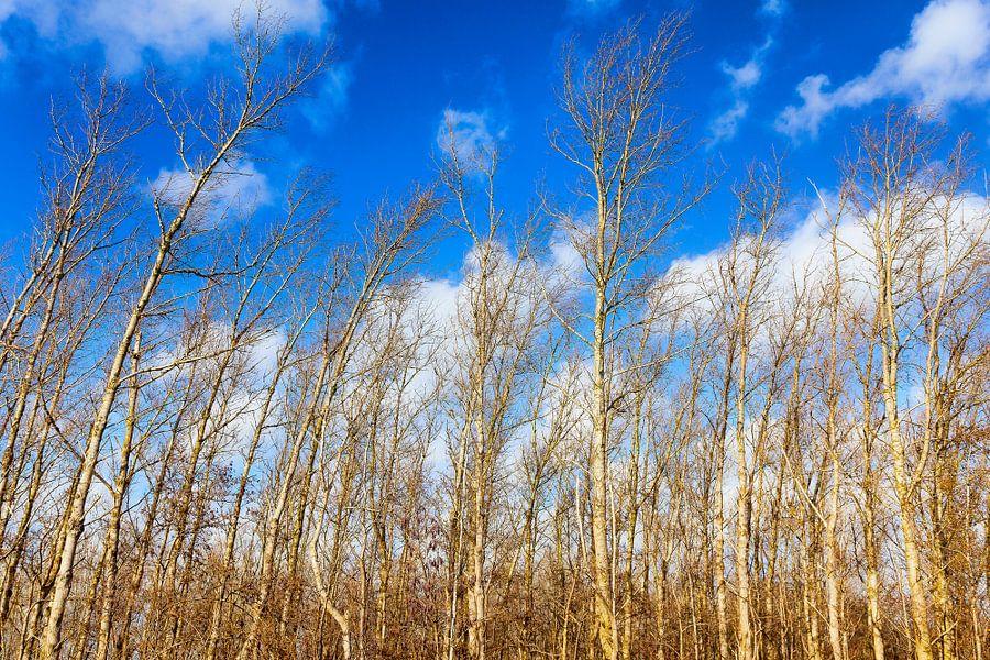 Gebogen Berkenbomen van Evert Jan Luchies