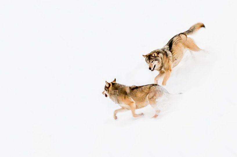 Spelende wolven van Claudia van Zanten