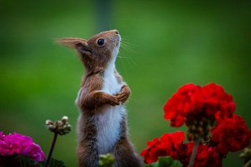 Eekhoorn voor de geraniums