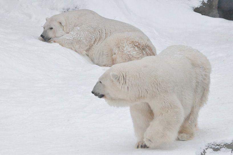 Zwei Eisbären - ein Männchen und ein Weibchen, die imposant auf dem Schnee liegen. von Michael Semenov