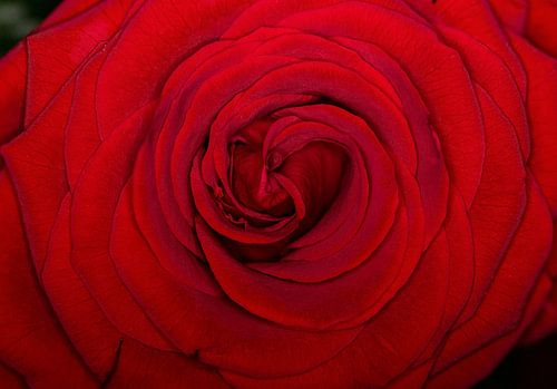 Close-up bloeiende rode roos