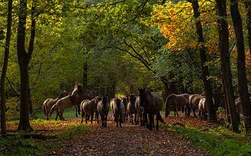 Konikpaarden bij Midwolda
