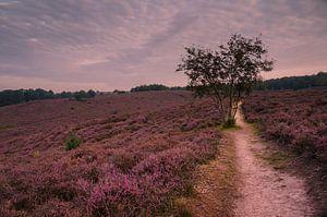 De roze velden van Posbank