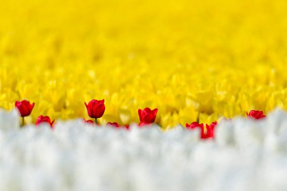 Tulpen in wit rood en geel
