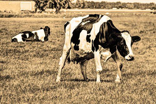 Zwartbont Koeien in de Weiland Sepia