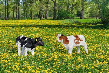 Twee pasgeboren kalveren in Nederlandse wei met paardebloemen van Ben Schonewille