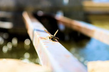 Wespe zum Sonnenbaden von Michiel piet