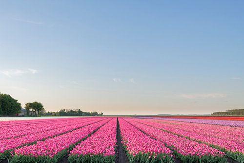 Veld met bloeiende Tulpen in Flevoland tijdens zonsondergang van Sjoerd van der Wal
