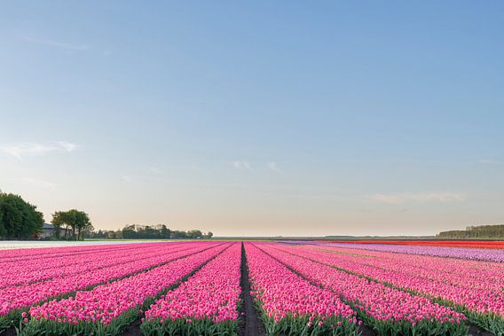 Veld met bloeiende Tulpen in Flevoland tijdens zonsondergang