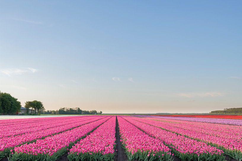 Champs de floraison des tulipes roses, rouges et jaunes pendant le coucher du soleil en Hollande sur Sjoerd van der Wal