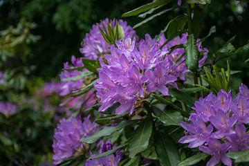 Nahaufnahme einer violetten Rhododendronblüte von Patrick Verhoef