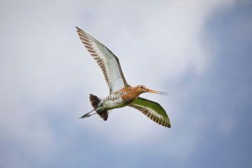Fliegende Uferschnepfe von Thomas Thiemann