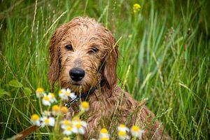 Wet Mini Goldendoodle est assis dans une prairie avec des fleurs de camomille.