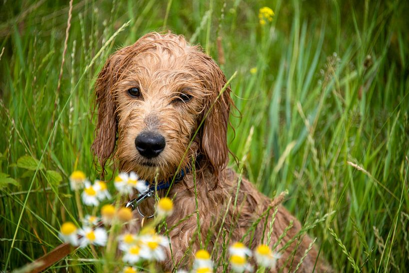 Wet Mini Goldendoodle est assis dans une prairie avec des fleurs de camomille. sur Stephan Schulz