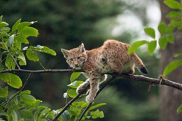 Luchs ( Lynx lynx ), Jungtiuer ruht im Baum, macht mal Pause, hängt ab,  Blickkontakt, lustiges Bild von wunderbare Erde
