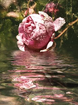 Rosarium - rozenolie van Christine Nöhmeier