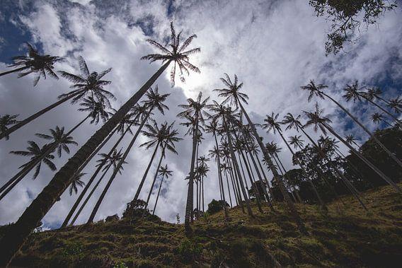 Waxpalmbomen onderaan de heuvel
