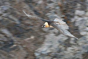 Bearded Vulture / Laemmergeier ( Gypaetus barbatus ) in flight, panning shot