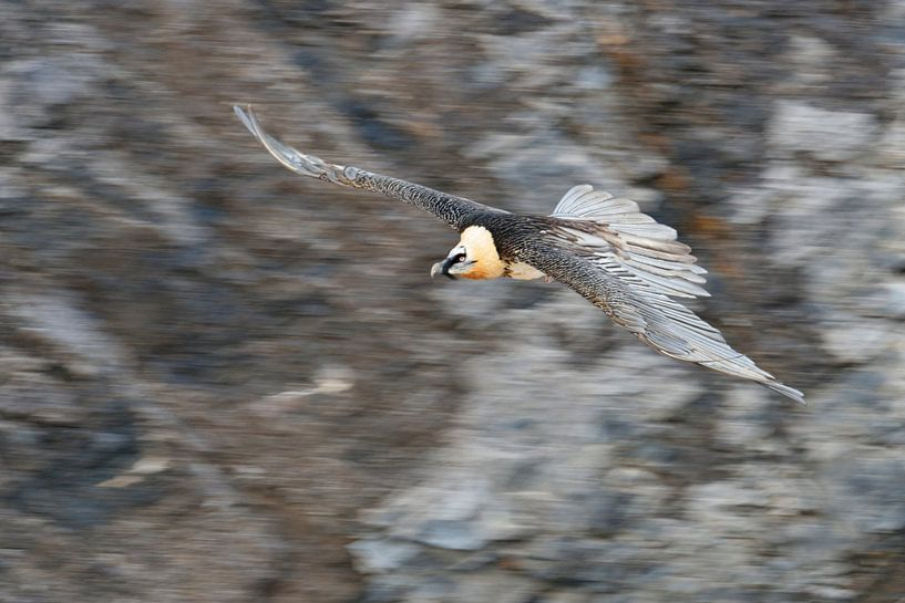 Bearded Vulture / Laemmergeier ( Gypaetus barbatus ) in flight, panning shot van wunderbare Erde