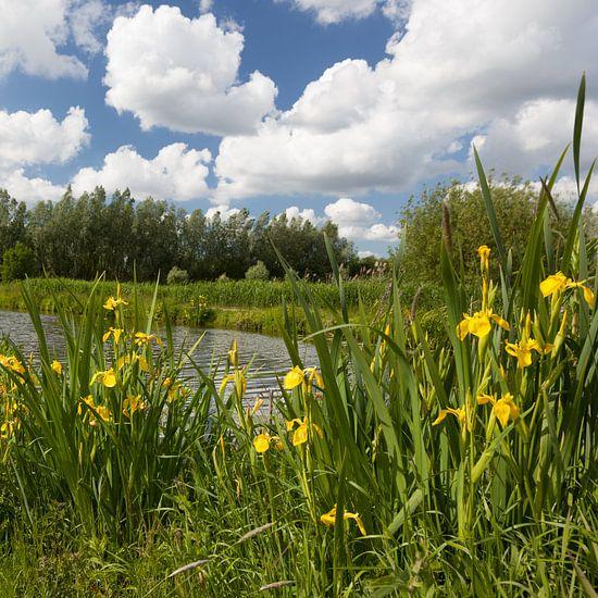 Gele lis aan de Schalkwijkse Wetering van Marijke van Eijkeren