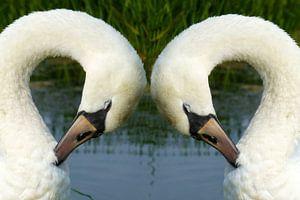 Witte zwanen in Friesland