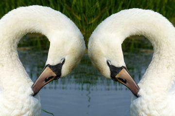 Witte zwanen in Friesland von Fotografie Sybrandy