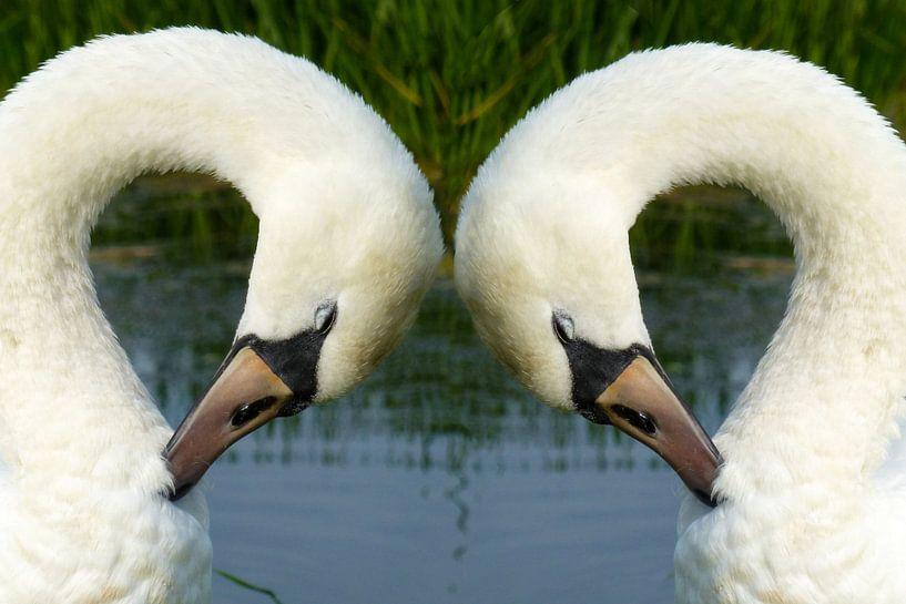 Witte zwanen in Friesland van Fotografie Sybrandy
